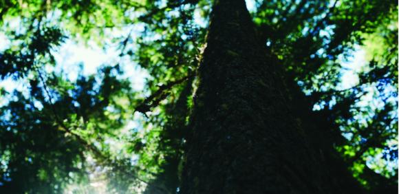 Wonderland Trail Tree
